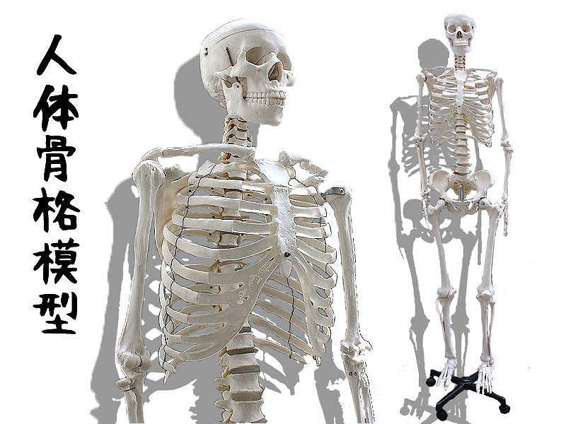 人体骨格模型 レンタル